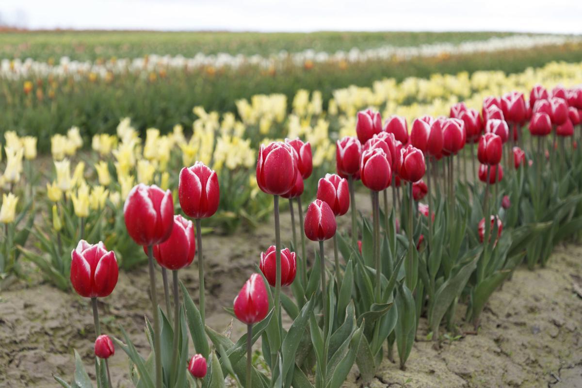 TulipsPerfect.jpg