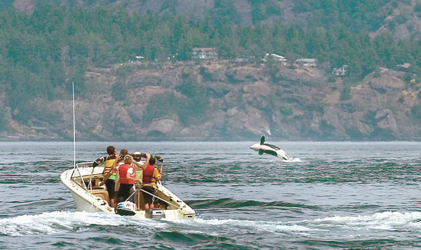 Southern Resident orcas defy recovery efforts