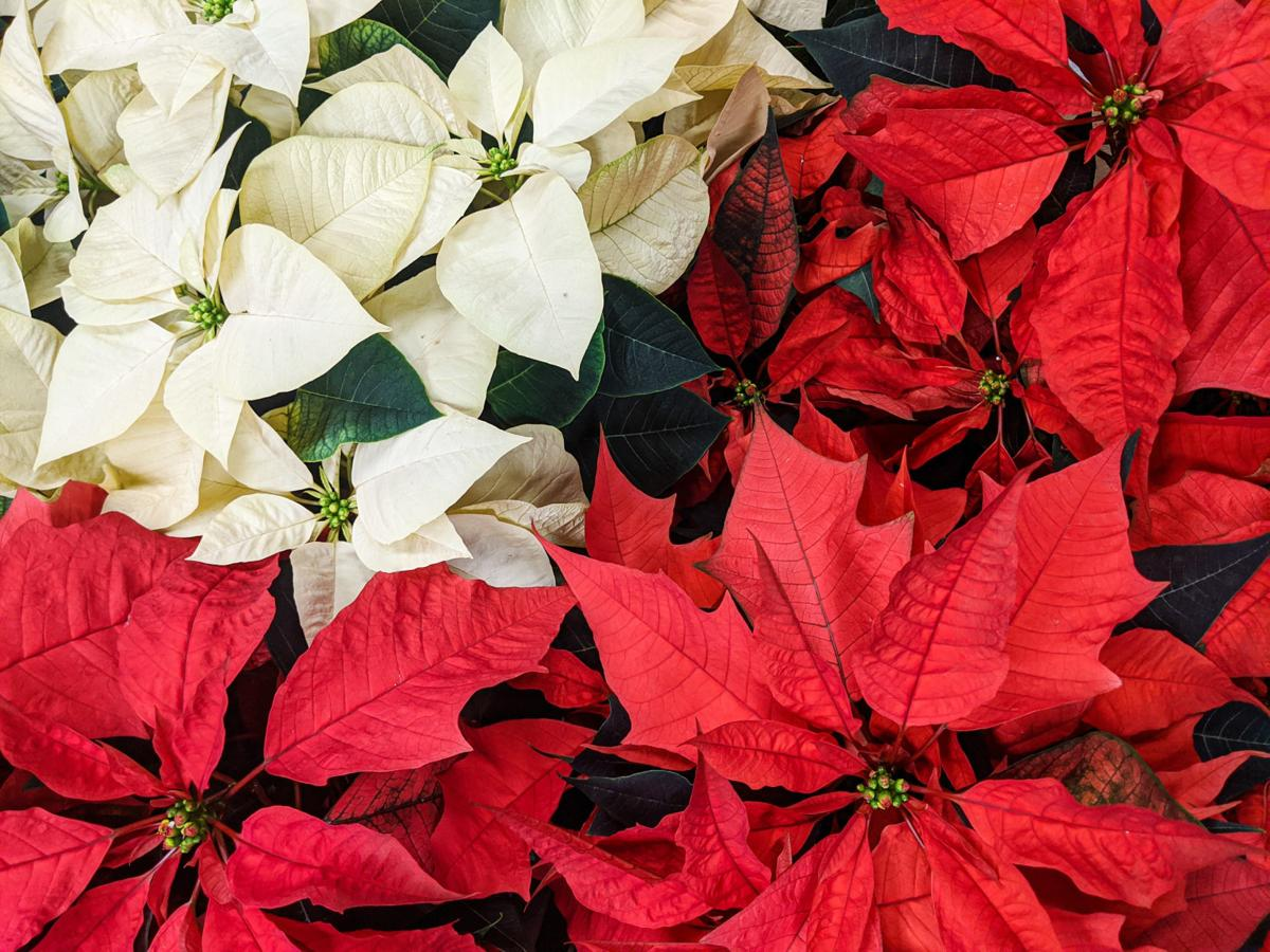 Poinsettias 1