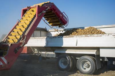 Potato Harvest 03