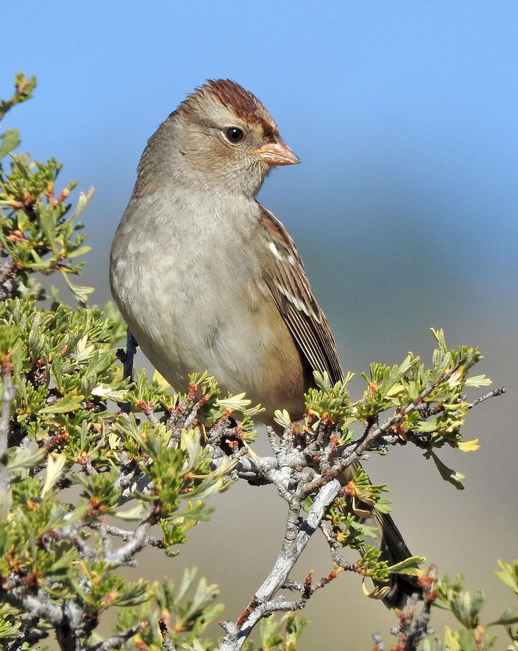 immature white-crowned sparrow by Mary Rumple.jpg