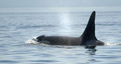 Salmon, orca recovery important as ever