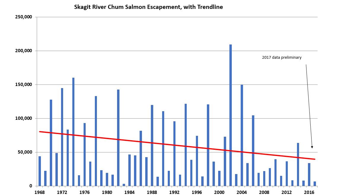 Chum salmon returns to the Skagit River