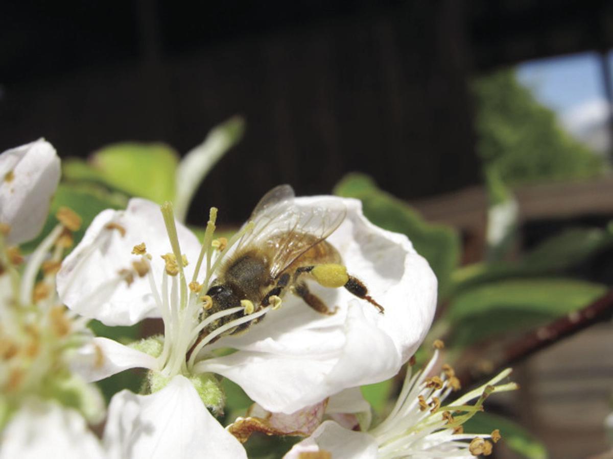 Honey bee on crab apple blossom