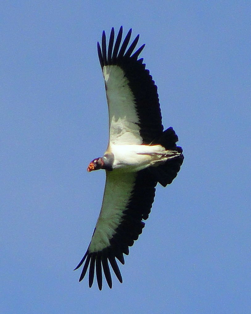 king vulture by Rey Zamburo .jpg