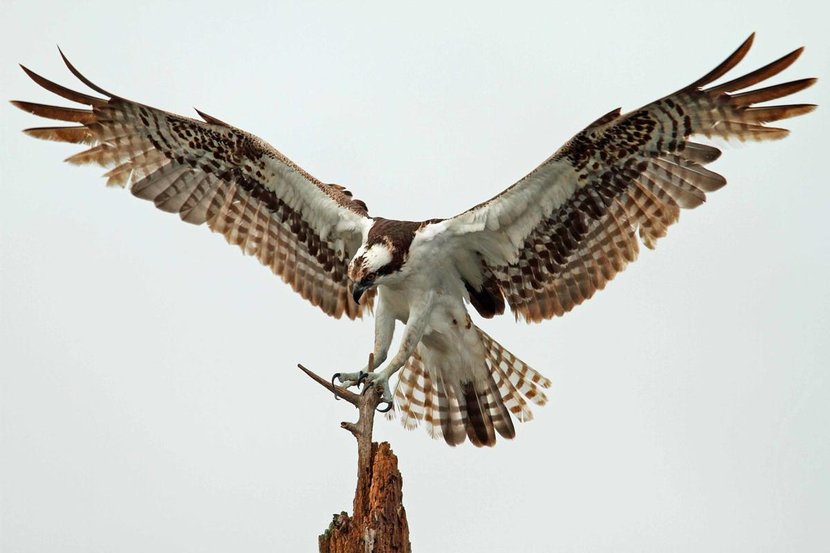 Osprey on Whidbey