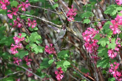 1 Anna's Hummingbird on Whidbey Island by Martha Ellis.jpg