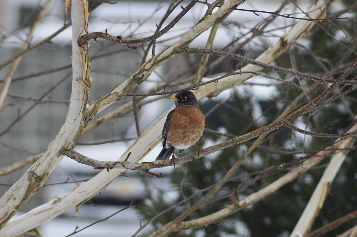 Robin in birch tree by Tom Plank