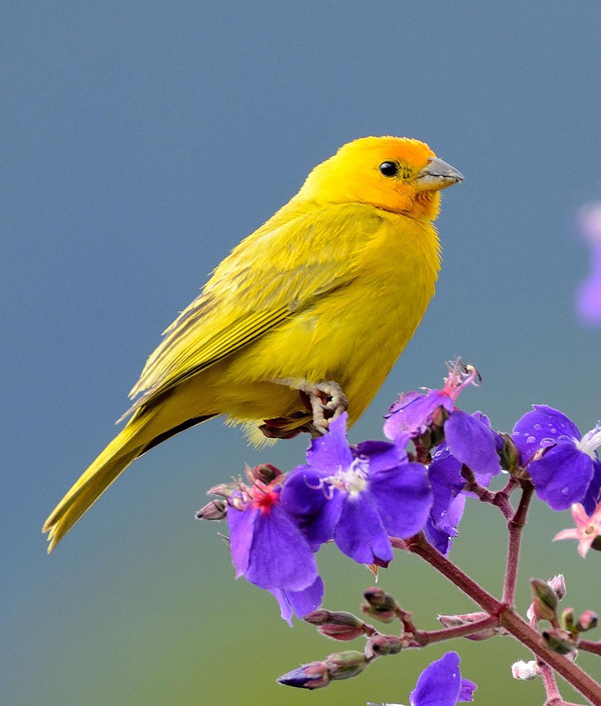saffron finch by Arley Vargas.jpg
