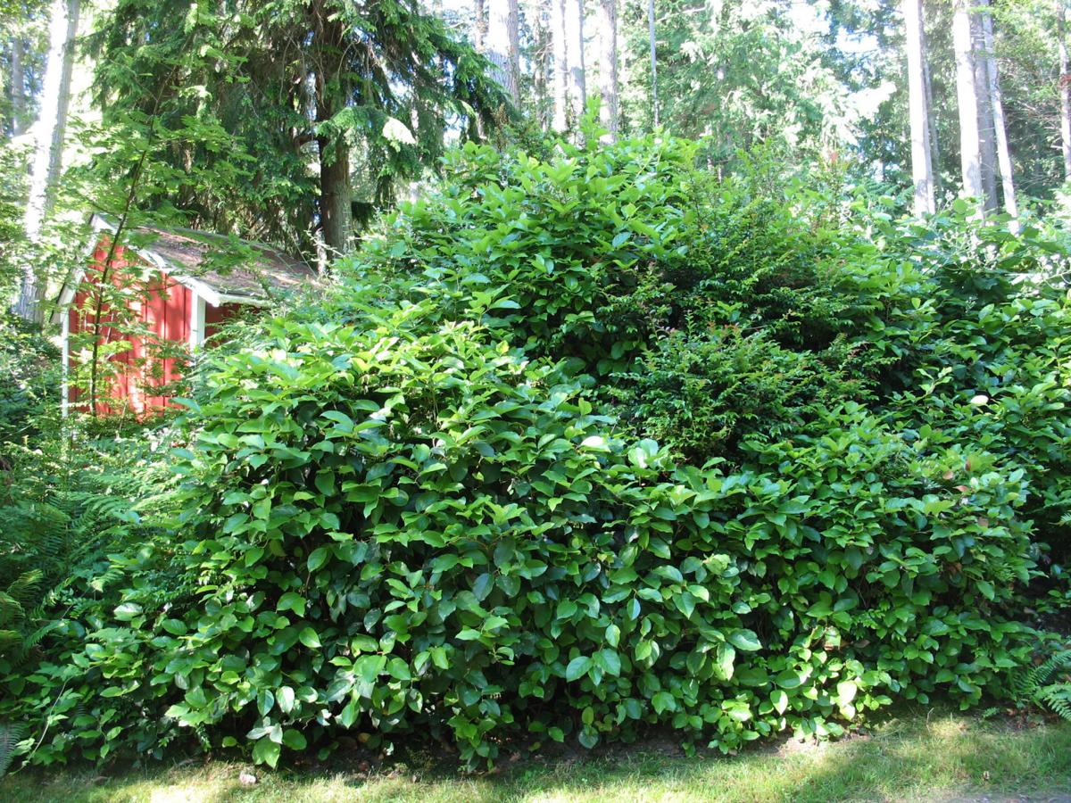 Ilex Crenata Golden Gem ask the master gardener: the many benefits of privacy