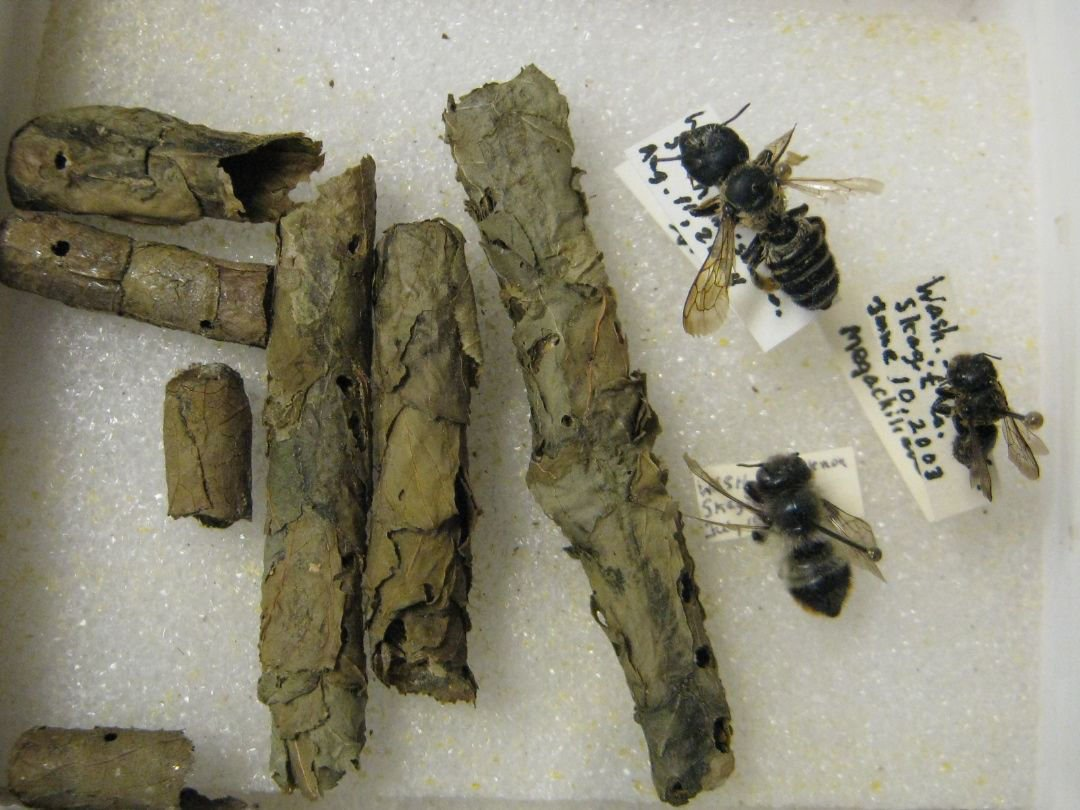 Various Leaf Cutter Bees and cocoons