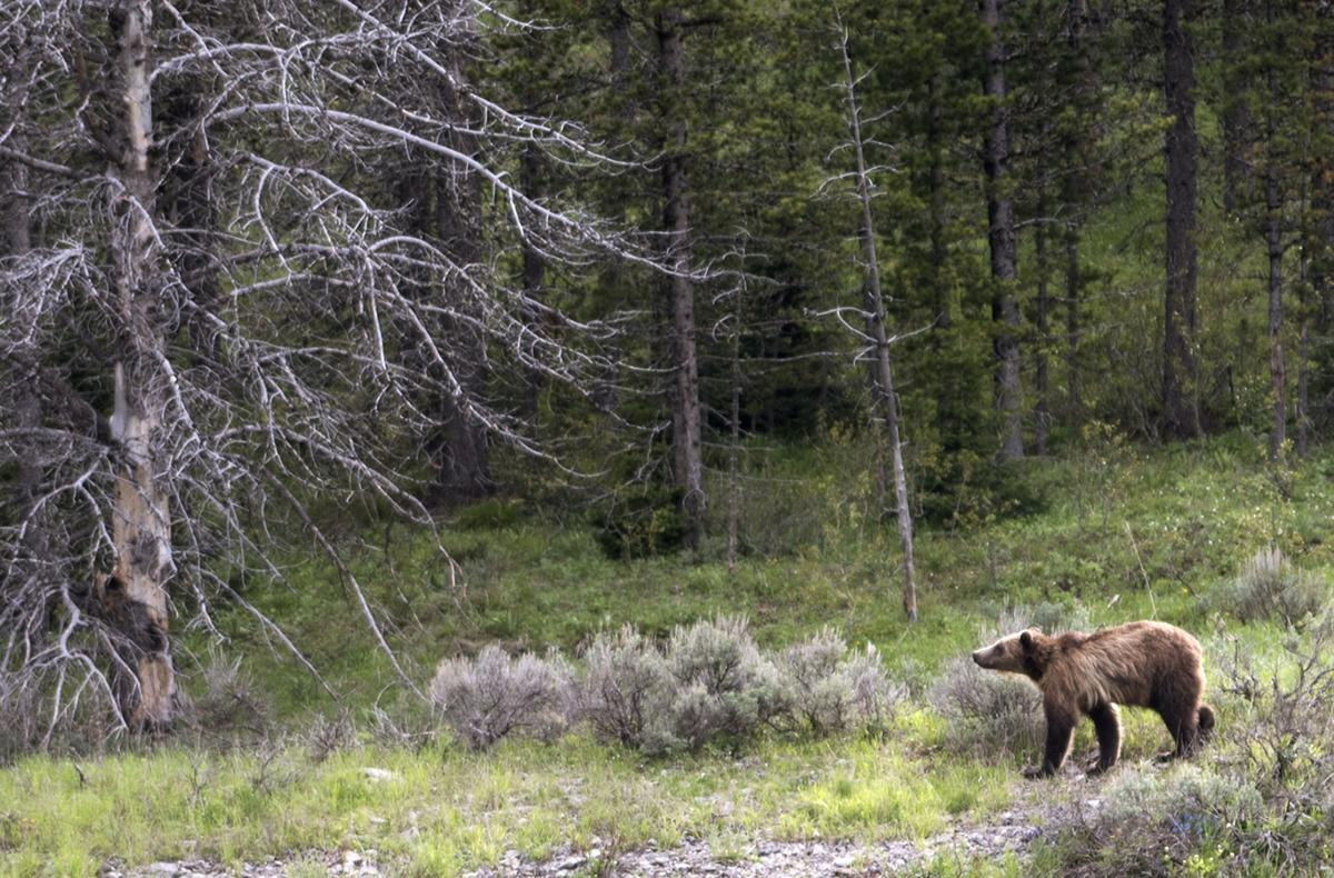 Grizzly Bear File from Bozeman
