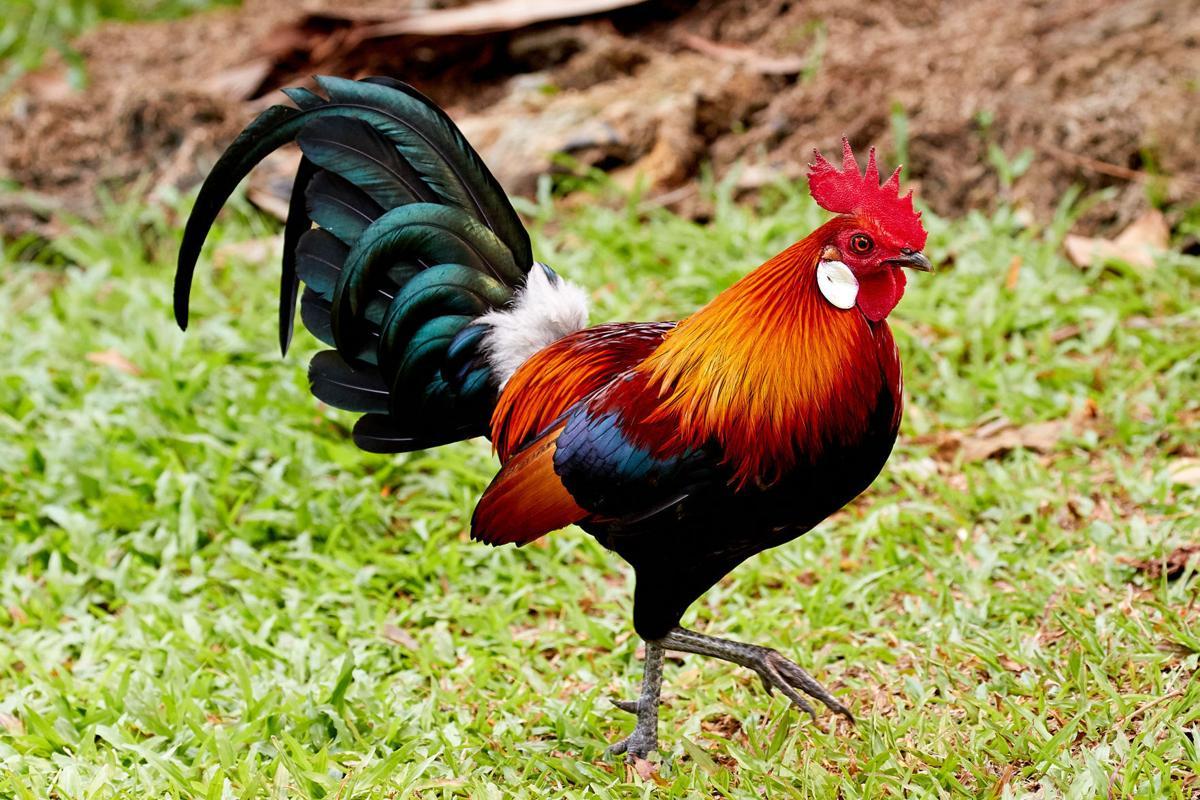 red junglefowl (chicken) by Melvin Yap.jpg