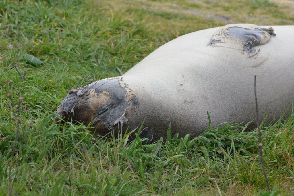 Elephant seal Elsie Mae