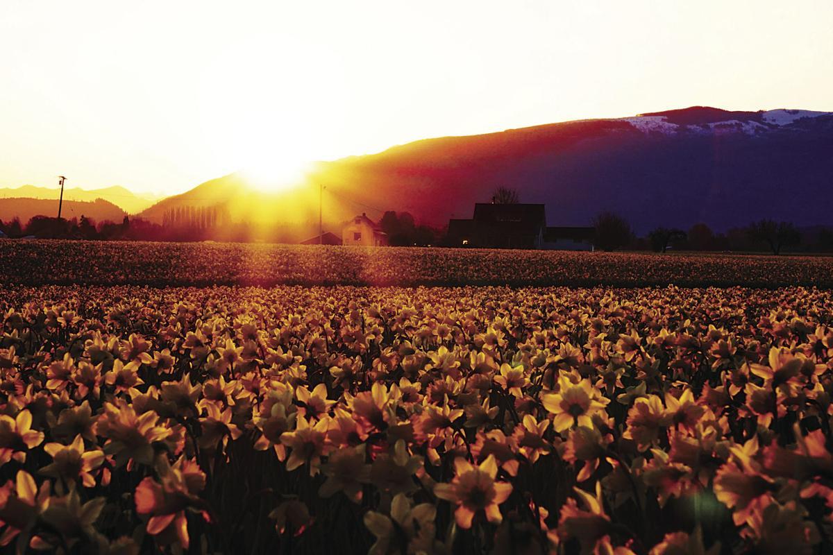 Sunrise daffodils by Richard Raisler