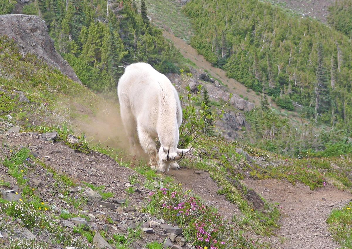 Proposed plan would relocate mountain goats to North Cascades