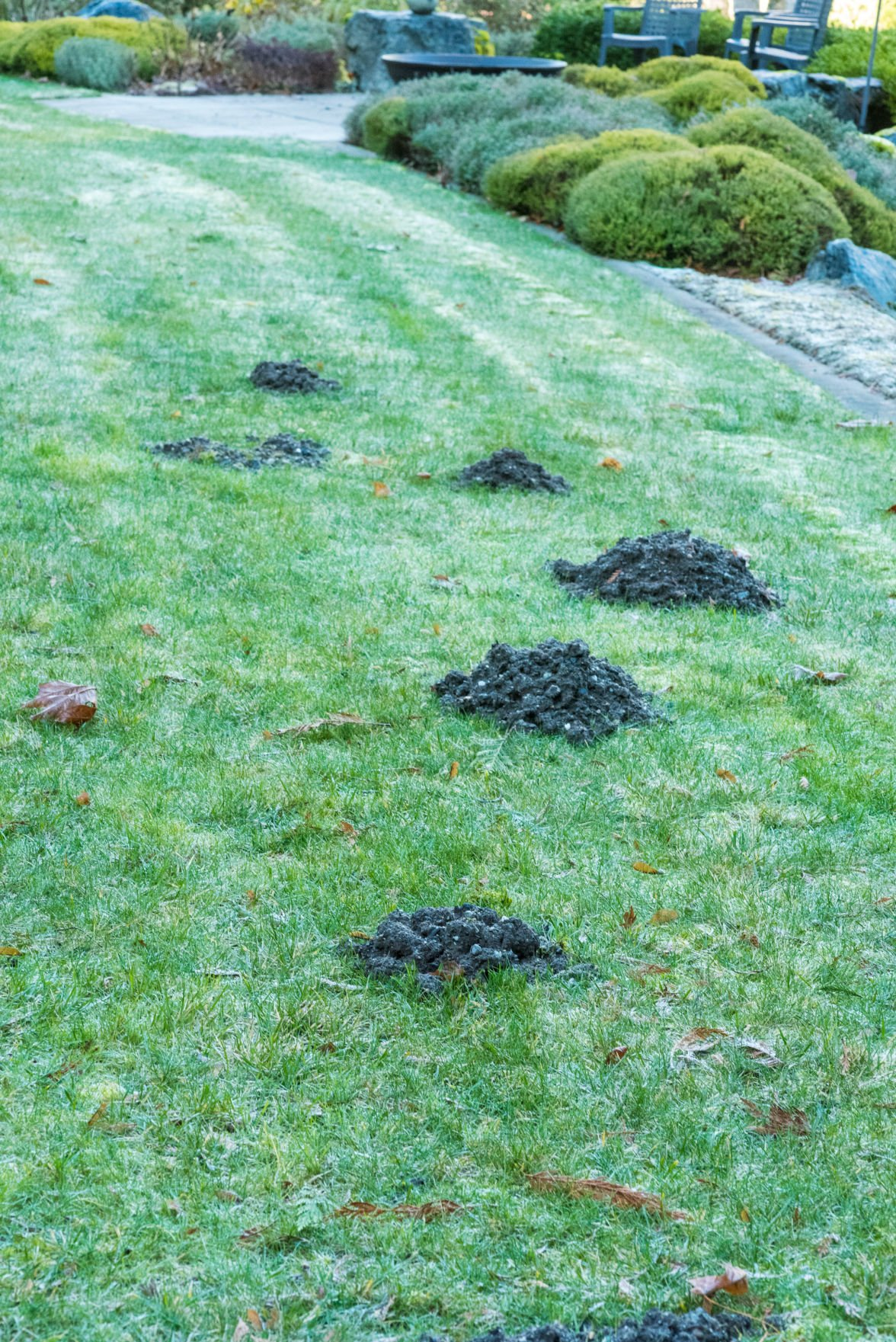 Ask The Master Gardener Holes Signal Troublemakers May Be In Your