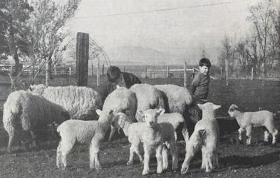 Looking Back Sheep