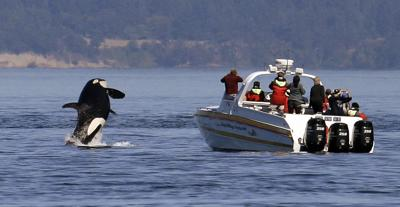 Saving Orcas Boat Tours