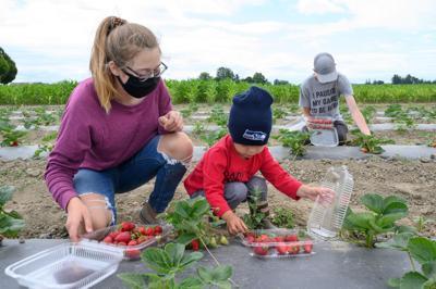 Tulip Town strawberries