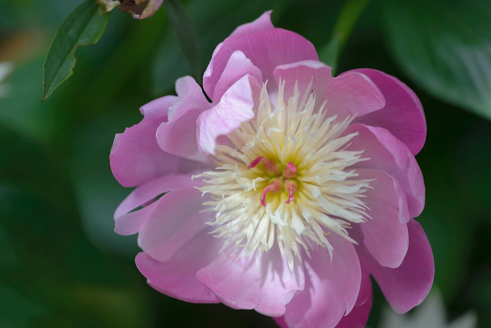 Peonies delight growers with their formation and color