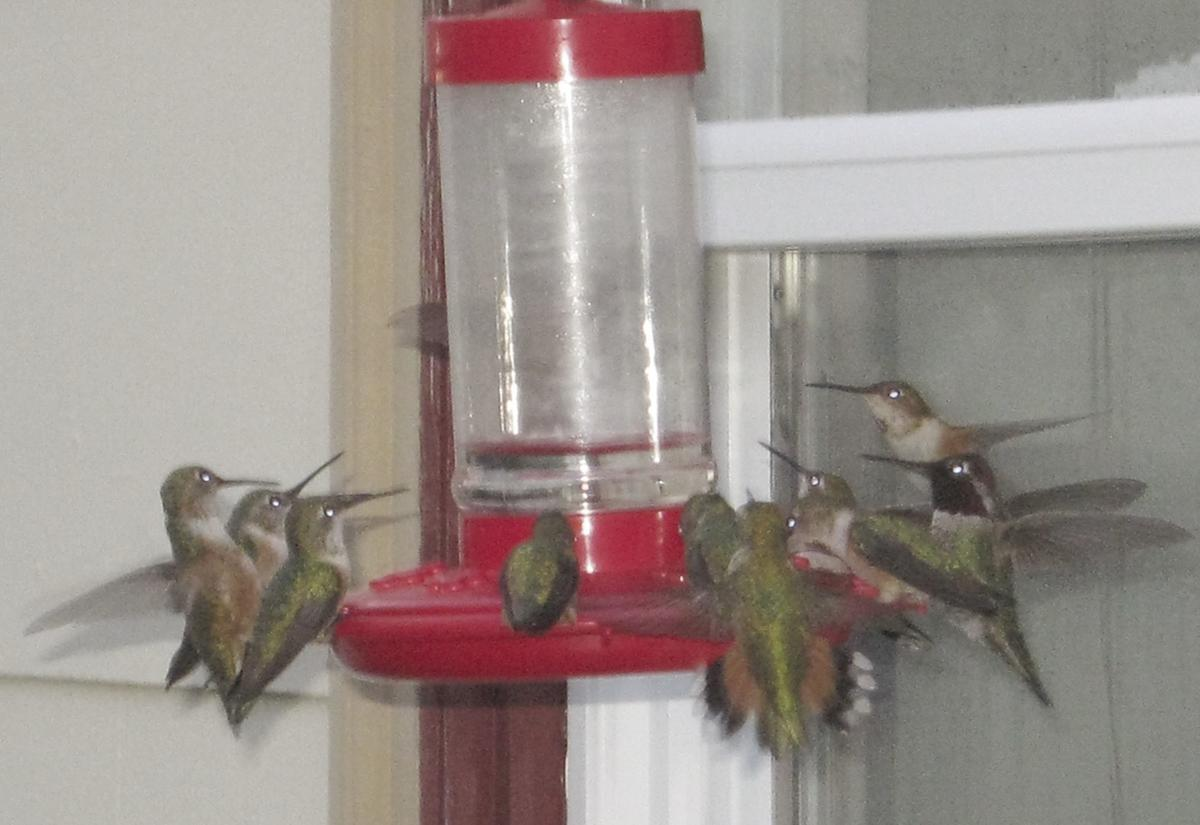 Many hummingbirds at the feeder