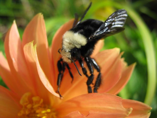 A yellow fronted bumblebee on a dahlia flower
