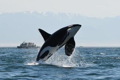 More orcas die