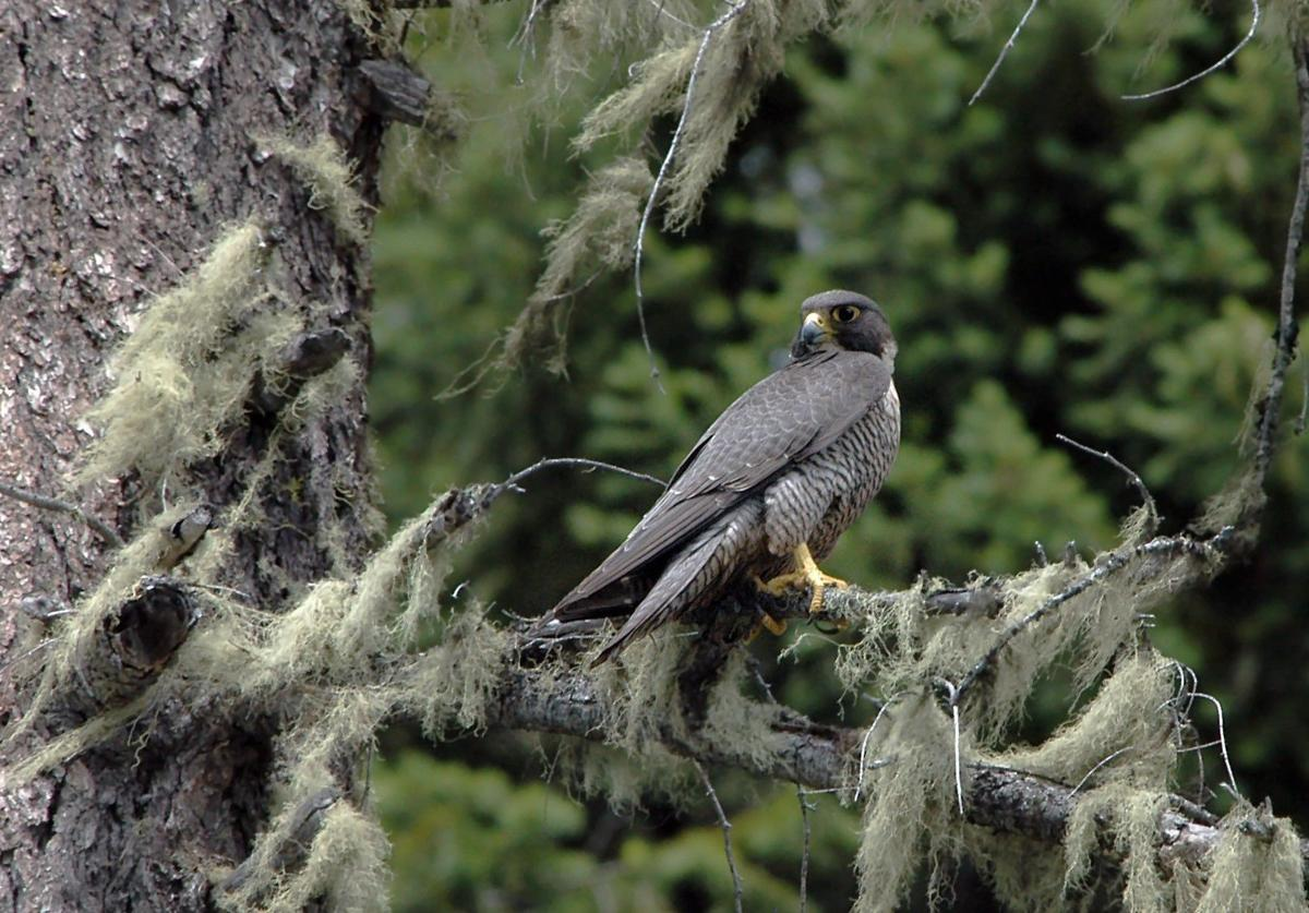 Peregrine falcon voucher_Paul DeBruyn_WDFW.jpg