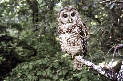 "Feds consider ""uplisting"" spotted owl"