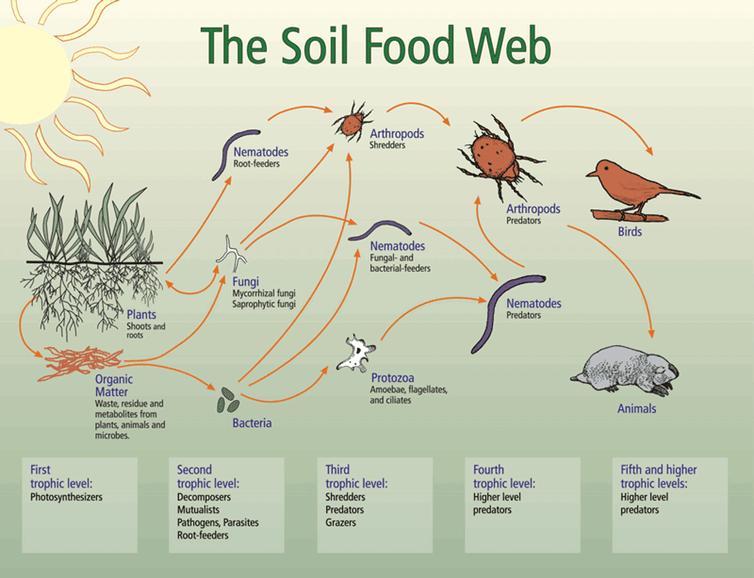 Soil Food Web Chart