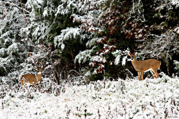 Two Deer captured in the snow.