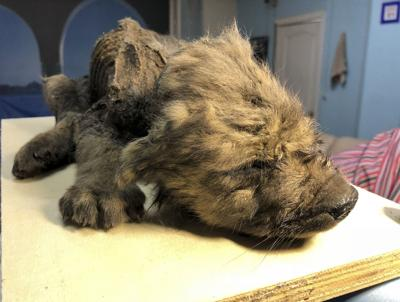 Russia Permafrost Puppy