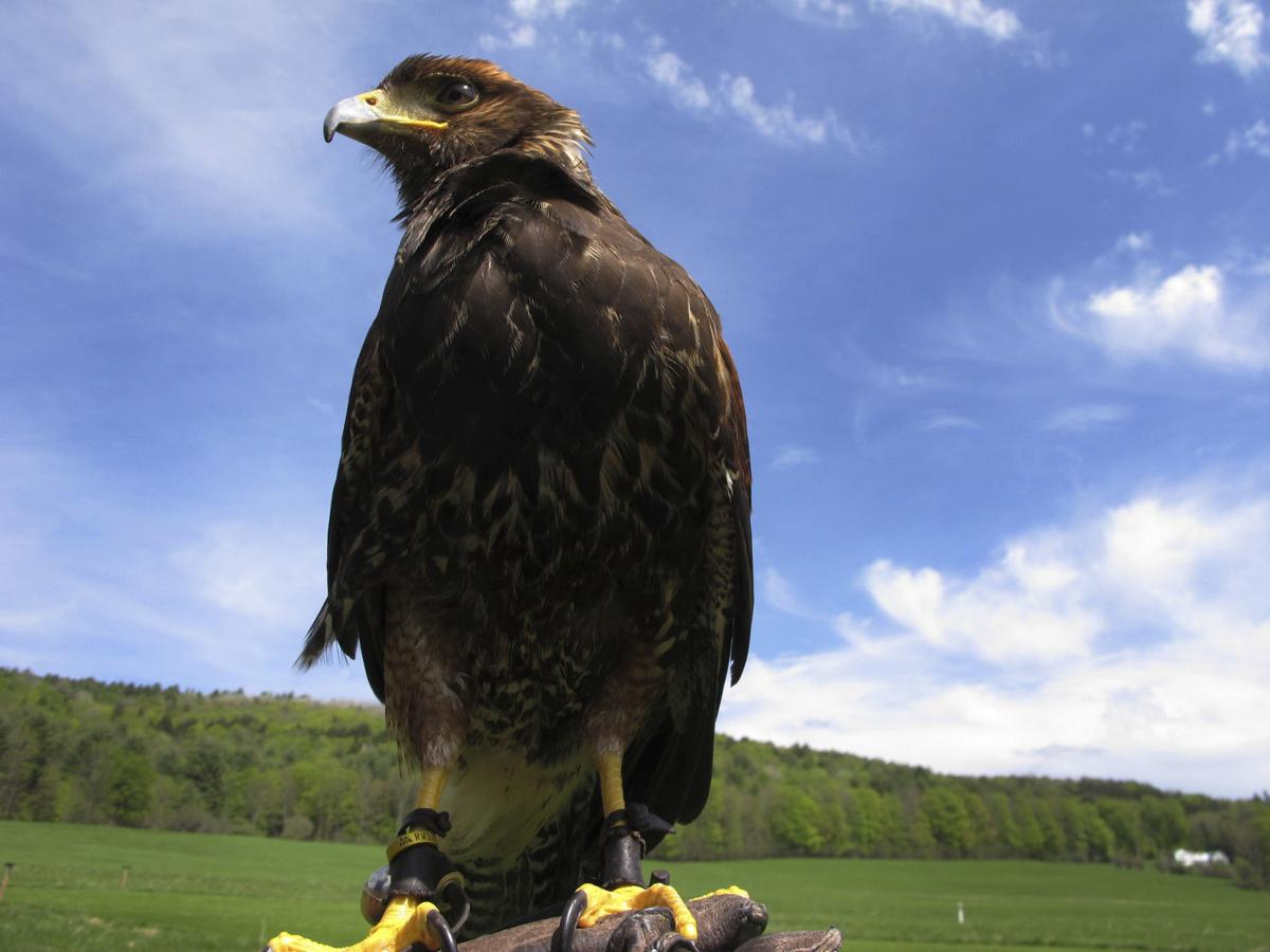 Tourists Can Now Experience The Ancient Sport Of Falconry Greenevillesun Com