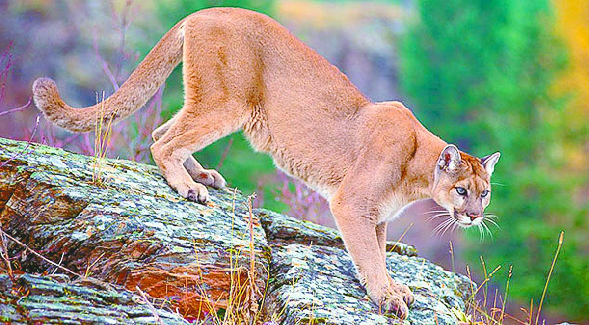 high rolls mountain park cougars personals Also known as mountain lions or pumas, cougars are known for  children seem to be more at risk than adults to cougar attacks, possibly because their high.