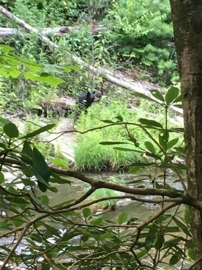 Bear Spotted In Paint Creek