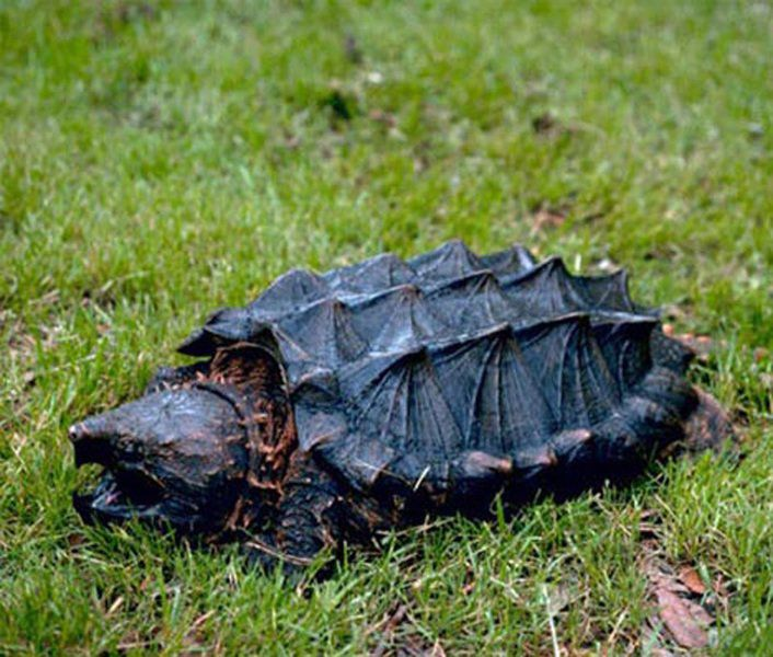 Halloween Snapping Turtle For Sale   Snapping Turtles Can Be Taken For Food In Season Columns