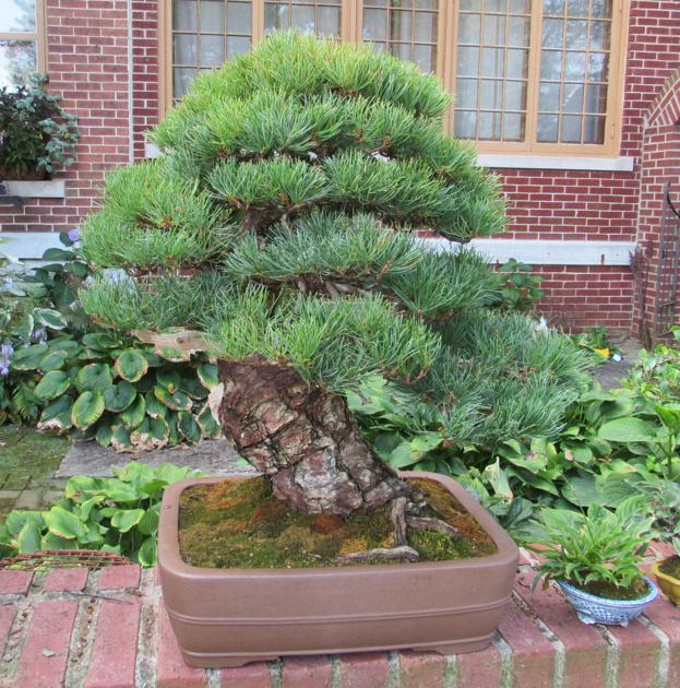 Bonsai Return To Fall Festival Local News Greensburgdailynews Com