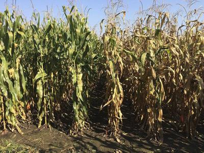 Study highlights nitrogen efficiency gains in corn hybrids