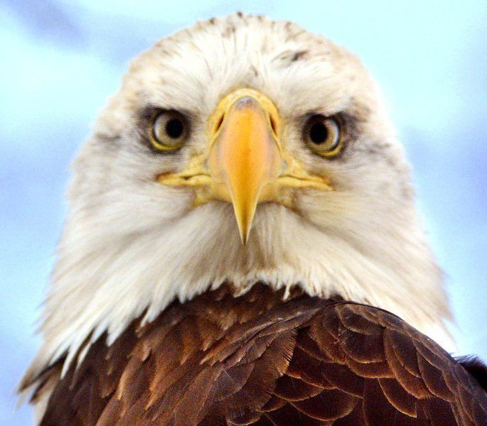 Bald Eagle Soaring In Sky Stock Photo