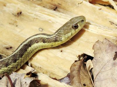 Garter snake  Friend to humans f447c6ea6