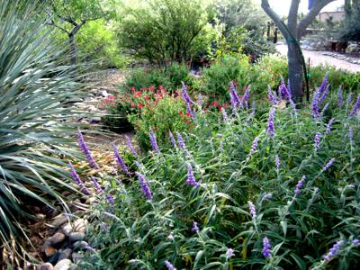 Gv Gardeners Autumn Flowering Perennials Grace Desert Gardens