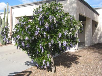 GV Gardeners: That Texas Mountain Laurel sweetness