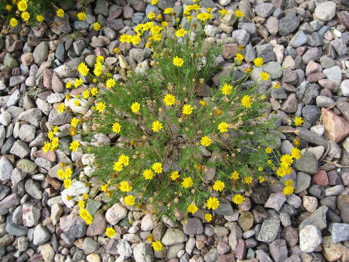 Gv Gardeners Dazzling Yellow Wildflowers In The Desert Get Out