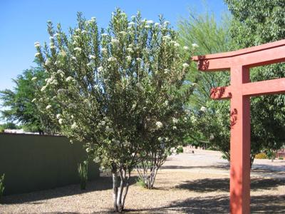 GV Gardeners: Native shrubs for barriers, hedges, screens