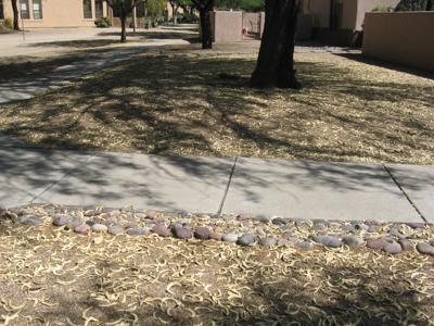 GV Gardeners: Valued Mesquite trees in the Sonoran Desert