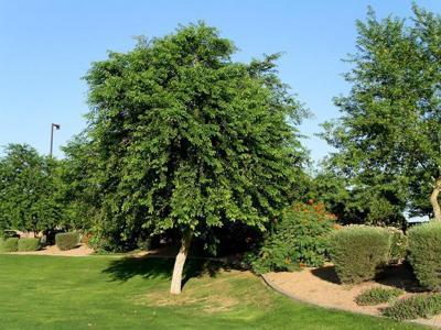 Sissoo tree