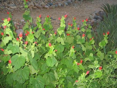 GV Gardeners: Uncommon plants that grow in the desert