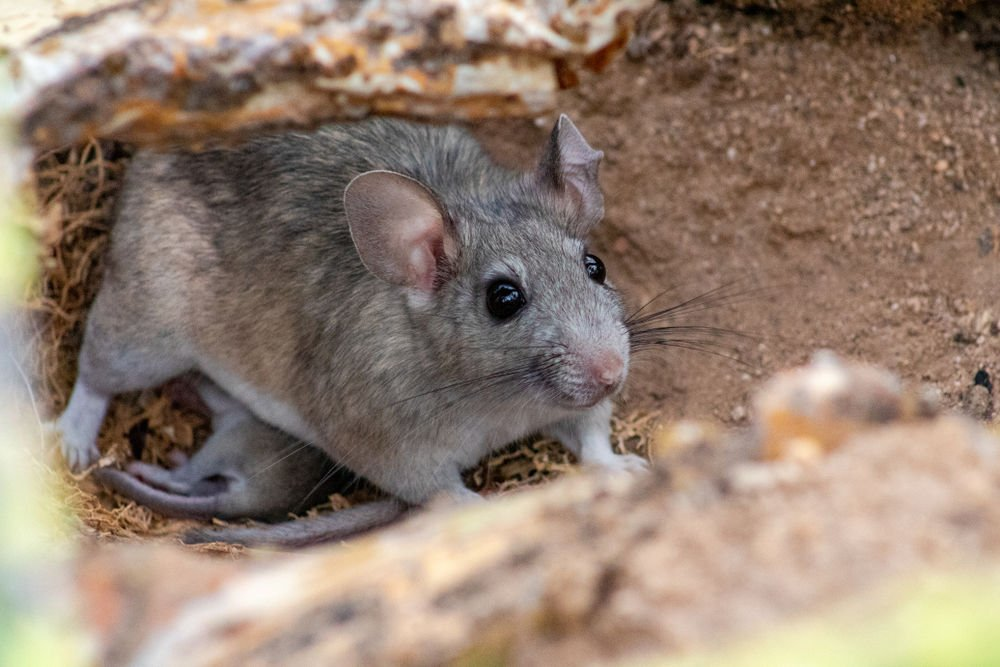 Rosie on the House: Rain, cold drive rodents to seek shelter, food