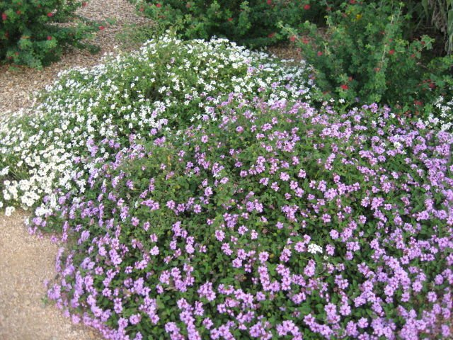 Gv gardeners lantana in your garden landscape get out gvnews these low trailing white and lavender lantana plants combine to create a cool tranquility in the summer landscape mightylinksfo